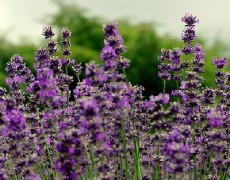 8 Simple Ways to Use Essential Oil of Lavender
