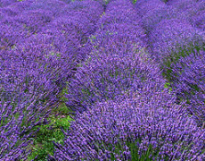 Relaxing Effects of Lavender Oil Revealed in this Study