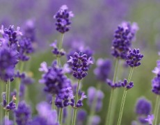 Five Reasons to Diffuse Lavender